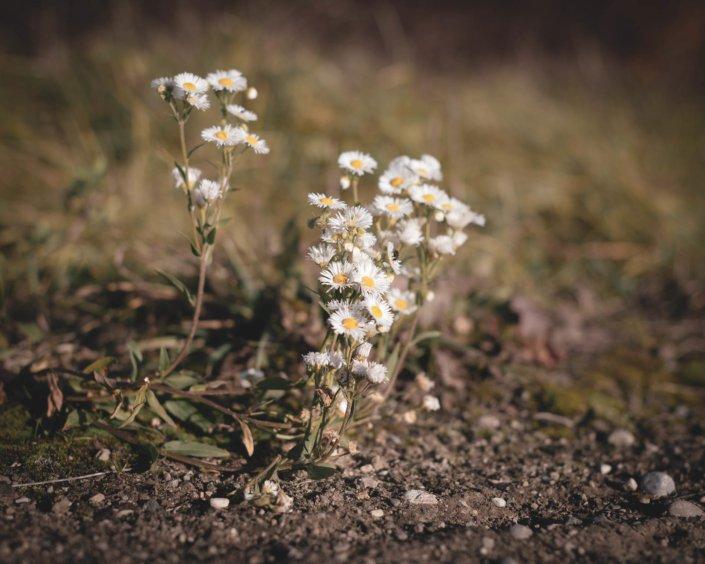 Die letzten Gänseblümchen