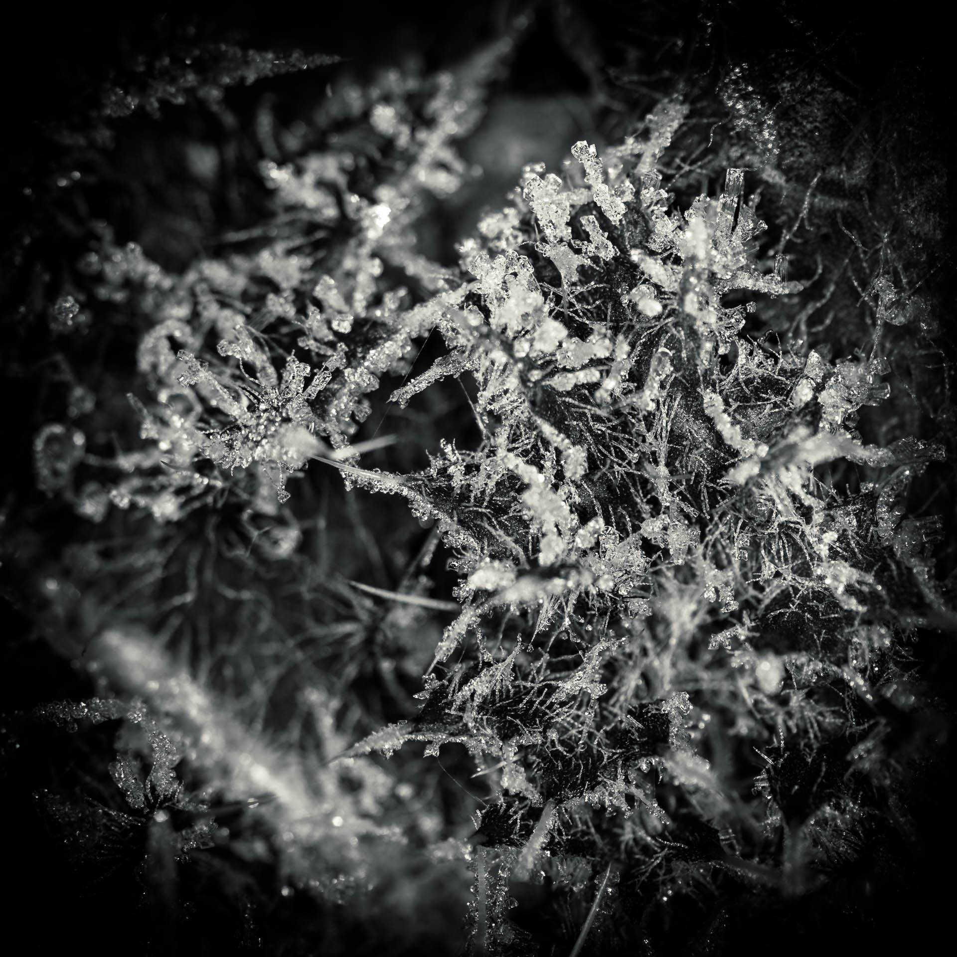 Eiskristalle auf Löwenzahn